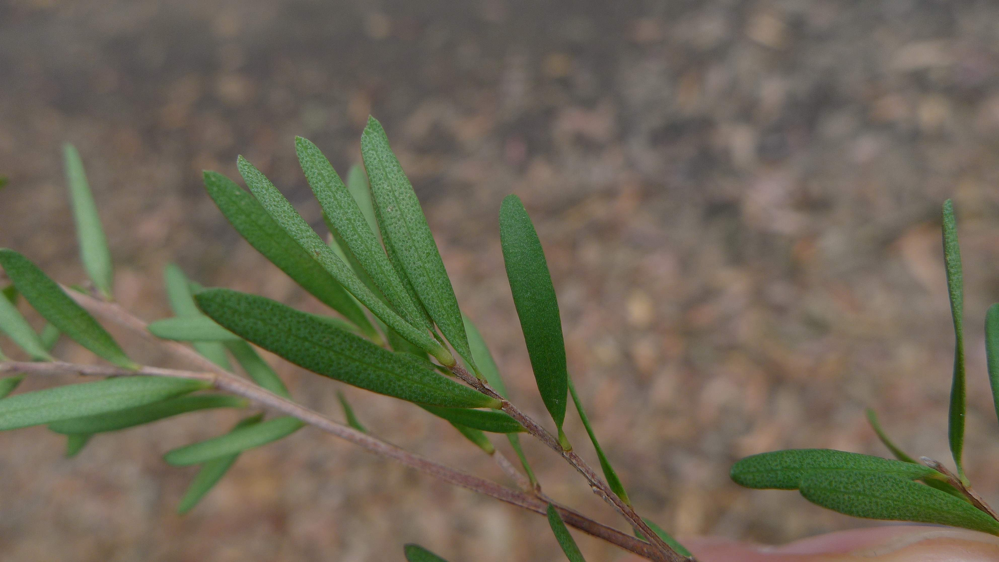 """Leptospermum polygalifolium leaves"" by John Tann is licensed under CC BY"